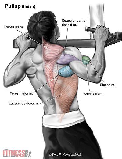 Klimmzüge beanspruchte Rückenmuskulatur